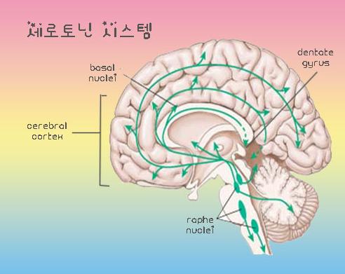 세로토닌 시스템   마라톤출장마사지   한국